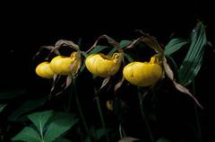Glacier Park Orchids