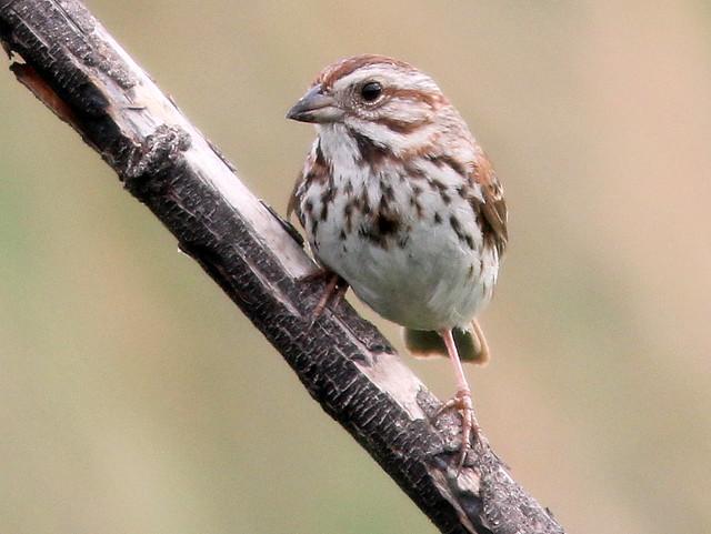 Song Sparrow 2-20110512