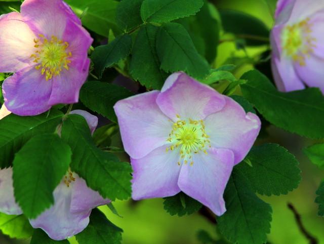 Wild Rose 20110617