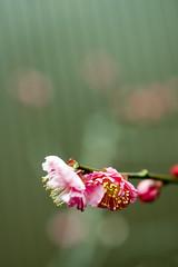 (yocca) Tags: pink flower flora 2008 ume 梅 japaneseapricot 紅梅 feb2008