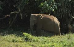 Wild Elephant_1 (oamkumar) Tags: wild india elephant asia kerala flickrmeet jumbo kfm valpara keralaflickrmeet oamkumar kfm3 valpparai malayalikkottamkfm3