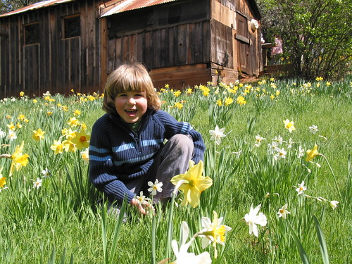Daffodil Hill 1