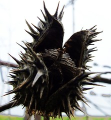 Seedless... (mightyquinninwky) Tags: geotagged dead spring pod kentucky thistle onwhite seedpod onblack westernkentucky ohiorivervalley viewonblack geo:lat=378009 smithmillskentucky hendersoncountykentucky thebluegrassstate viewonwhite geo:lon=87747459 jasonpresser 11223344556677