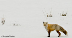 Red Fox (Woody 50) Tags: snow animal nikon wildlife idaho fox d200 redfox islandpark henryslake