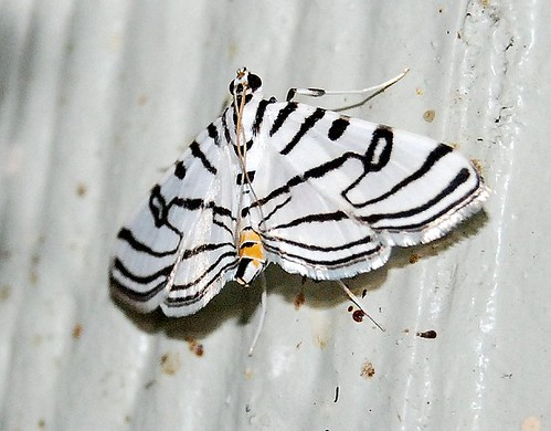 Black And White Striped Moth