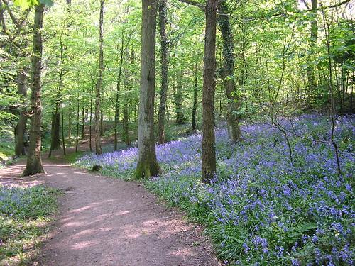 Bluebells in Fairy Glen