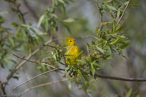 Yellow Warbler (1 of 1)