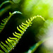 curly fern bokeh by poopoorama