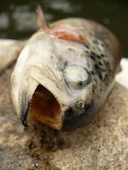 A fresh trout