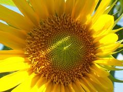 E' tempo di girasoli (fedegrafo) Tags: italia estate giallo sunflower sole girasole oro blueribbonwinner supershot platinumphoto anawesomeshot fedegrafo federicobenvenuto elshowdelmacro