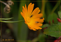 Two's company, three's a crowd - HBW (Jay Bees Pics) Tags: orange macro garden insects flies 2008 marigold hbw bokehlicious goldstaraward excellentsflowers