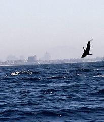 10_shark12_leap1_447