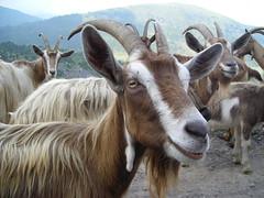 passo crocedomini (af4wx) Tags: mountain alpes alpi montagna capra capre gaver maniva gregge passocrocedomini