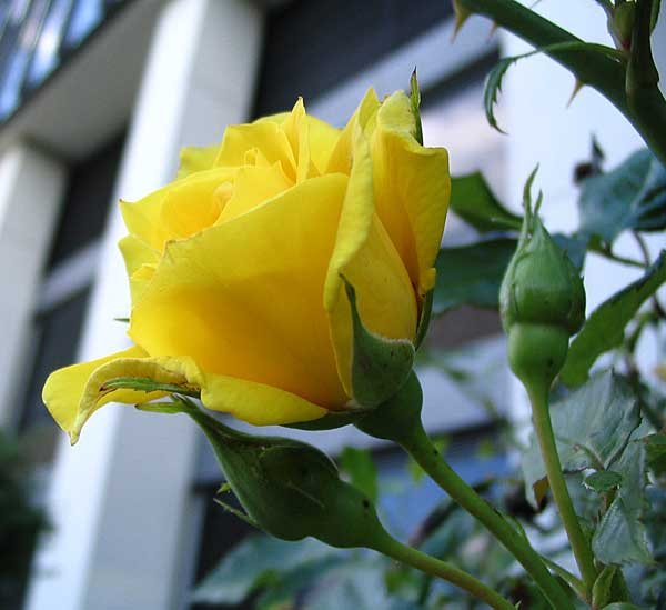 Yellow Rose. Photo: Ulla Hennig