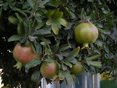 Pomegranate (ingerson_sharon) Tags: green fruit yummy pomegranate fresh growing
