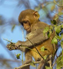 Young Rhesus Macaque Feeding (aeschylus18917) Tags: family baby india nature monkey nikon feeding wildlife newborn d200 breastfeeding primate rajasthan simian rhesusmonkey bharatpur 80400mm 80400mmf4556dvr rhesusmacaque macacamulatta keoladeo oldworldmonkey 80400mmf4556vr  keoladeosanctuary danielruyle aeschylus18917 danruyle druyle circopithecidae keoladosanctuary