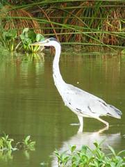 Bangau @ UTM (emrank) Tags: bird pond utm johor kolam burung bangau