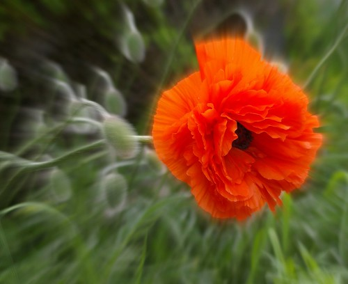poppies / Samantha Forsberg