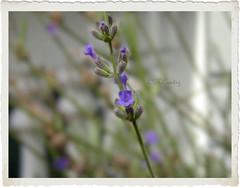 Lavender (ccurtiz) Tags: texture bush lavender chicoca canonpowershotsd950is