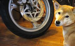 バイクと柴犬