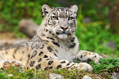 Djamila the snow leopard princess (Tambako the Jaguar) Tags: wild plants cute green grass female cat zoo schweiz switzerland big nikon feline rocks zurich mother kitty posing fluffy bigcat vegetation zrich wildcat lying snowleopard felid d300 djamila panthera naturesfinest schneeleopard snowkitty uncia loparddesneiges panthredesneiges thebestofday gnneniyisi flickrlovers dshamilja