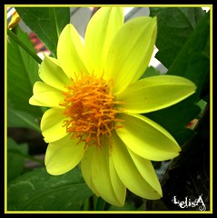 Yellow (LelisA) Tags: 1001nights inthegarden anaheimca yellowdahlia abigfave flowerwatcher theperfectphotographer awesomeblossoms