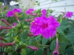 100_4985 (ana branca) Tags: pink flower sweetpea
