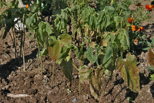 dead bean plants