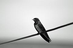 Hirondelle N&B (laurent KB) Tags: nb swallow hirondelle schwalbe andorinha zwaluw golondrina rondine