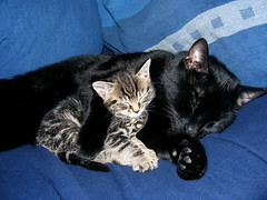 Best Friends 1 (Julia-D) Tags: sleeping cute cat kitten     cc100 kissablekat