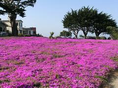 PG grass (ksuwildkat) Tags: california flowers favorite monterey pacificgrove panasonicfz8 colourartaward