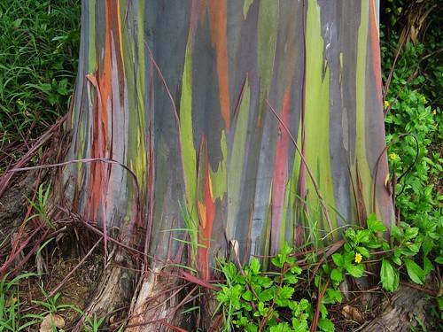 Rainbow Eucalyptus Tree -1.  Detail of trunk.