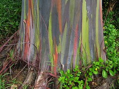Rainbow Eucalyptus Tree -1.  Detail of trunk. (JannK) Tags: hawaii maui rainboweucalyptus bej naturescreations gardenofedenbotanicalarboretum