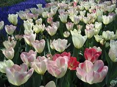 Keukenhof Gardens - Holland (outside of Amsterdam)
