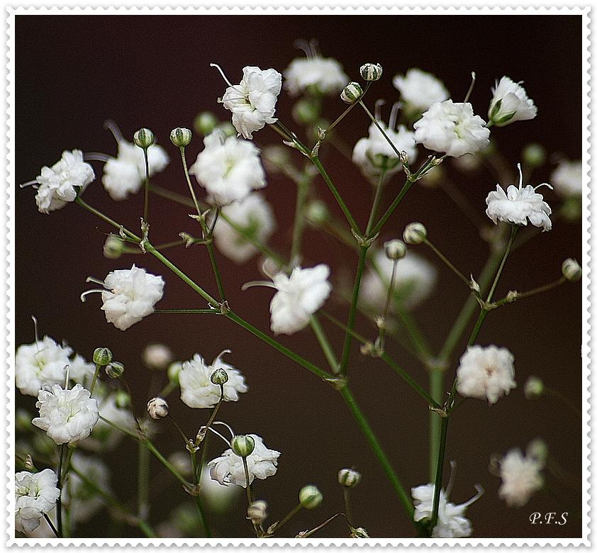 Photo: Gypsophila paniculata