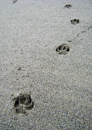Cougar tracks?