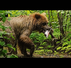 gotcha (Paul Tixier) Tags: bear alaska salmon grizzly seward ours brownbear grizzlybear saumon specanimal animalkingdomelite