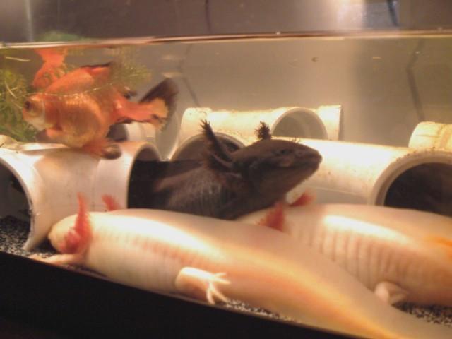 axolotls3.jpg