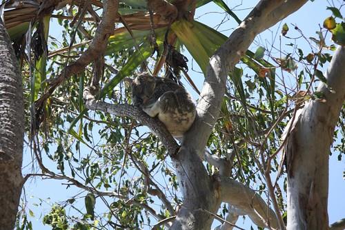 koala_img_1801