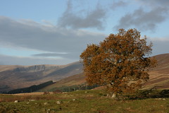 Clova Tree - Near Glenarm 18 xi 08 (Ron Dough) Tags: trees scotland angus glen clova