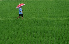 look at my red umbrella.. (M3R) Tags: red people bali green field umbrella canon indonesia rice paddy ubud 400d mariaismawi