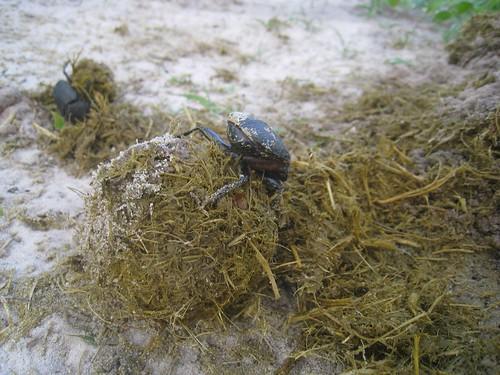 Ambitious dung beetle - Elephant Sands, Botswana