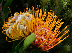Leucospermum erubescens (gypsie2 ~ On/Off) Tags: friends flower macro naturesfinest proteaceae beautifulexpression abigfave flickrdiamond macromarvels theperfectphotographer goldstaraward natureselegantshots s100fs wonderfulworldofflowers awesomeblossoms 100commentgroup picturethoughts