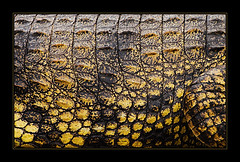 Crocobelly (AnyMotion) Tags: travel nature animal animals tiere reisen reptile wildlife afrika 2008 nilecrocodile chobenationalpark anymotion crocodylusniloticus abigfave nilkrokodil