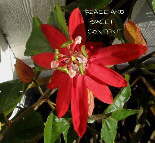 Passiflora Sweet Content