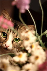 Tyson loves vases with flowers (Minarge) Tags: cat lj ef50mmf18 canoneos400d severodonetsk thelittledoglaughed bestofcats unamourdechat 5boc 5prettykittycommentspartiv