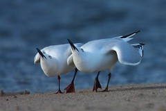 Black Billled Gulls (J Kappely) Tags: newzealand nature birds gull avian