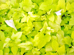 So for green, green and green ... (Anish Krishnan [anishk.in]) Tags: green leaves garden flickr