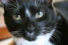 Jinx (cmcgough) Tags: cats georgia tuxedocats jinx