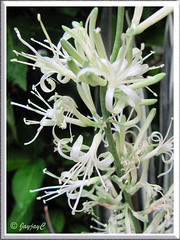 Macro shot of Sansevieria trifasciata 'Bantel's Sensation' (White Sansevieria)